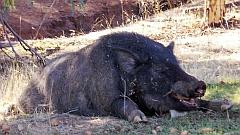 224214-feral-pig